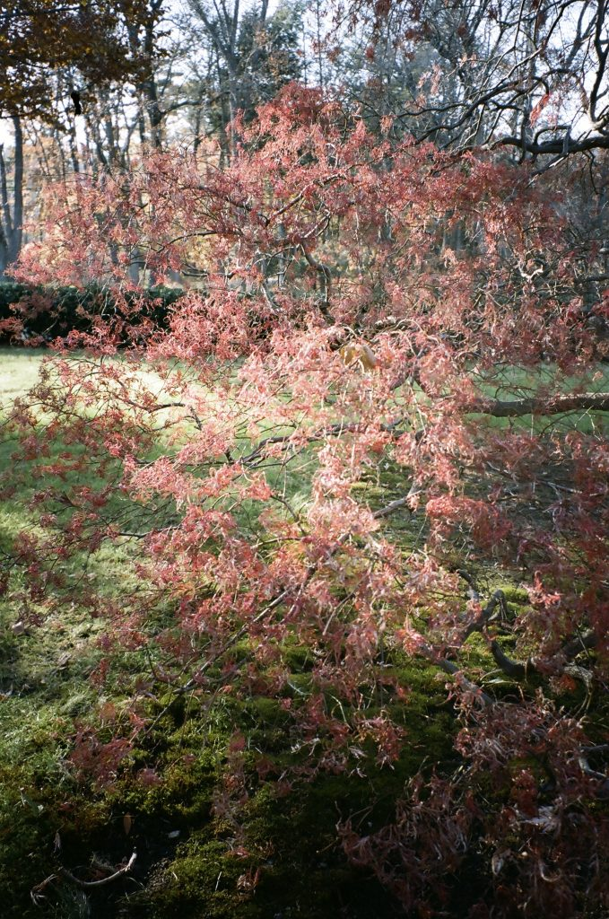 day_1_japanesemaple